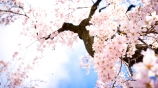 6937731-sakura-flowers-wallpaper